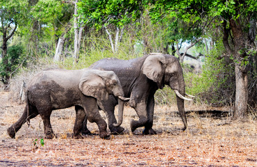 Two wet African Elephants walking side by side through the African Bush in South Luangwa National Park, Zambia