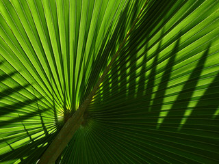 Wall Mural - green palm leaf with shadow