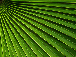 Wall Mural - green palm leaf with line