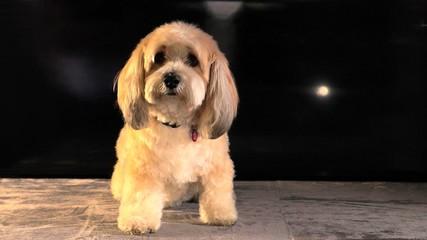 Un petit chien blanc mélancolique