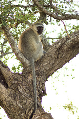 Wall Murals Roe monkey sitting on a ree looking at something