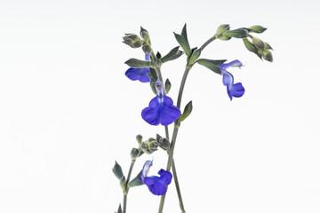 Blue flowers of germander sage Salvia chamaedryoides