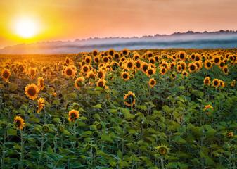 beautiful sunflower field on sunset