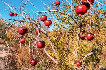 ripe pomegranates on the tree