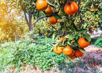 ripe tangerines mandarines on the tree
