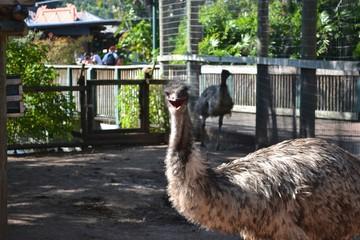 Poster Struisvogel Emu