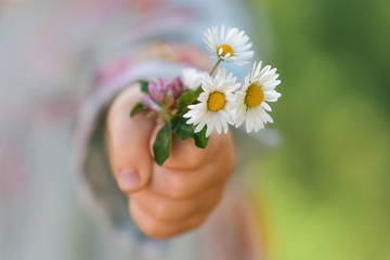 Fototapeta Girl holding a bouquet of daisies in her hand close-up obraz