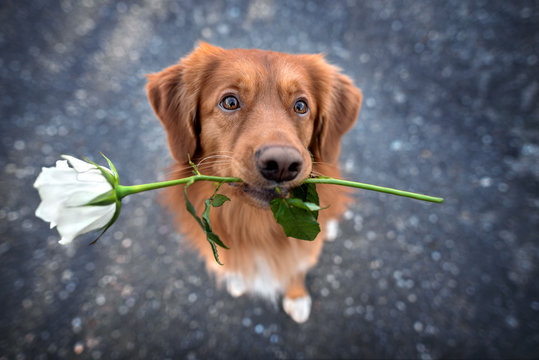 beautiful retriever dog holding a white rose in mouth, top view portrait outdoors