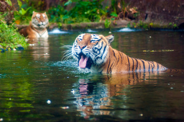Tiger swimming in the water