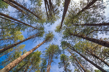 Looking up through the trees in a forest