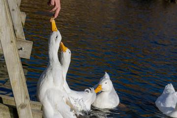 White pekin duck stretching to eat bread