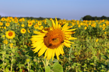 Close up of sunflowers field near Valensole, Provence, France