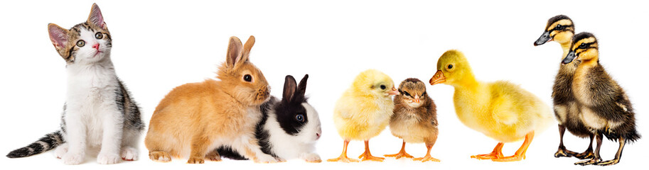spring animals - little rabbits and little gosling ,,chickens and kitten