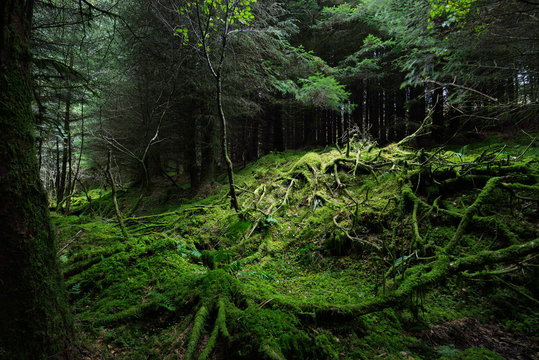 Dark forest scene. Old mossy fir trees and fern leaves close-up, tree trunks in the background. Ardrishaig,  Loch Fyne, Crinan Canal, Argyll and Bute, Scotland, UK