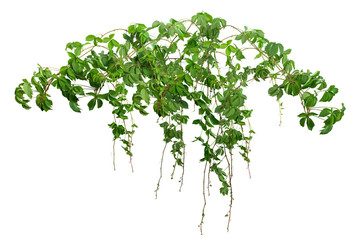 Ivy with lush green foliage. Climbing plant in summer isolated on white background. Tropical vegetation. Wild vines leaves. Fototapete