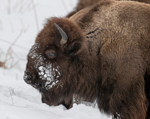Fototapeta Bison Yellowstone January 2020