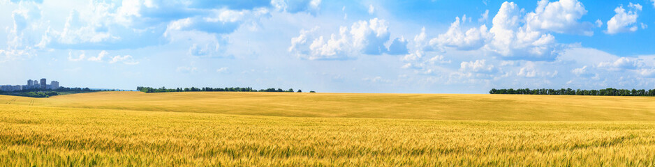 Canvas Prints Honey Rural landscape, panorama, banner - field of young wheat in the rays of the summer sun
