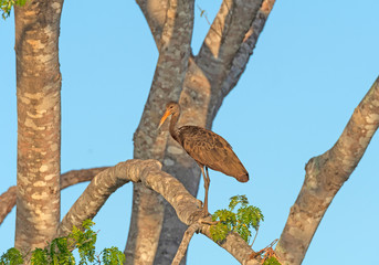 Limpkin In a Pantanal Tree