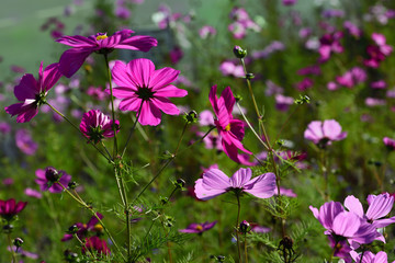 Close up and background of a meadow with pink and pink flowers in summer