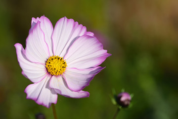 Close-up of a bright pink meadow flower with pollen in the summer in the sun