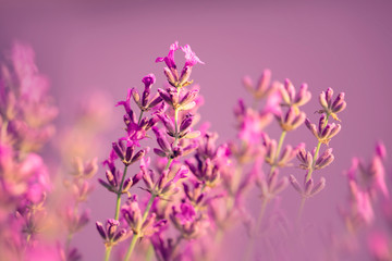 Beautiful blurry lavender flower closeup at sunny day.