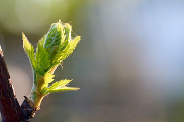 Young inflorescence of grapes on the vine close-up.Grape vine with young leaves and buds blooming on a grape vine in the vineyard. Spring buds sprouting/New leaves sprouting at the beginning of spring Fotobehang