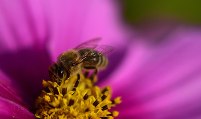 Closeup of a bright pink meadow flower with yellow pollen and a honey bee looking for food in it in summer