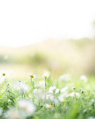White and yellow daisy flowers growing in green grass
