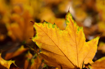 Close-up and background of shining autumn leaves lying on the ground and illuminated by the sun