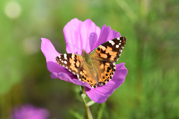Close-up of a colorful butterfly on a blossom of a flower meadow in summer in Germany