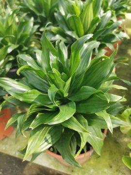 leafly dracaena compacta houseplant