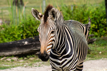 Aluminium Prints Zebra Hartmann's mountain zebra