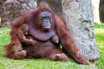 Female orangutan and her baby