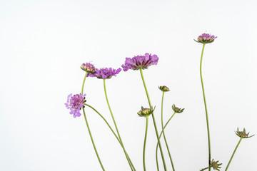 """Flowers of scabious Scabiosa """"Vivid Violet"""""""