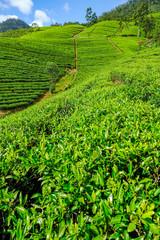 Tea plantation in Sri Lanka.