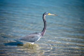 A blue heron hunting in the sea