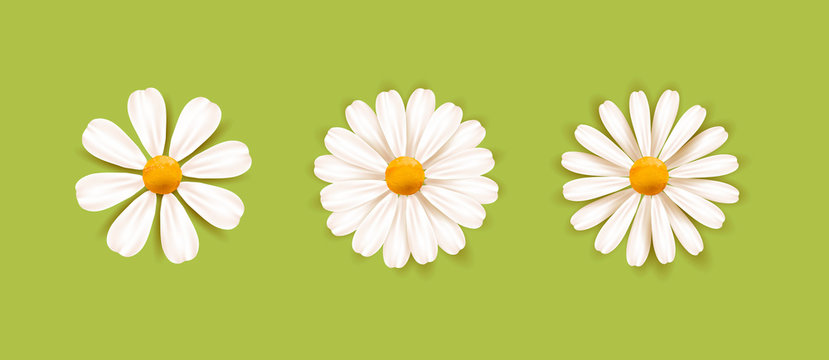 Set of White daisy chamomile illustration. Cute realistic flower plant icon collection. Different sorts of flower petal blossom