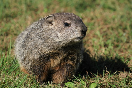 Wild Groundhog seen on a sunny day in Wheeling, West Virginia