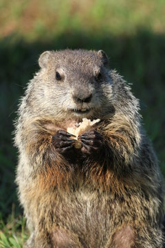 Upright picture of wild mischievously looking groundhog seen on a sunny day in Wheeling, West Virginia