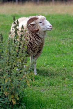 Schaf mkit gebogenen Hörnern hinter Strauch