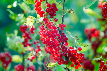 Red currants -  red French grapes. Ripe red currants close-up as background