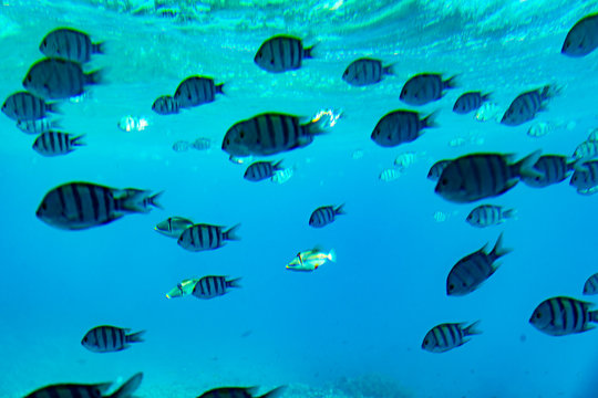 School of Scissortail Sergeant Fish. school of fish underwater