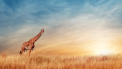 Wall Mural - Cheetahs in the African savanna against the backdrop of beautiful sunset. Serengeti National Park. Tanzania. Africa. Copy space.
