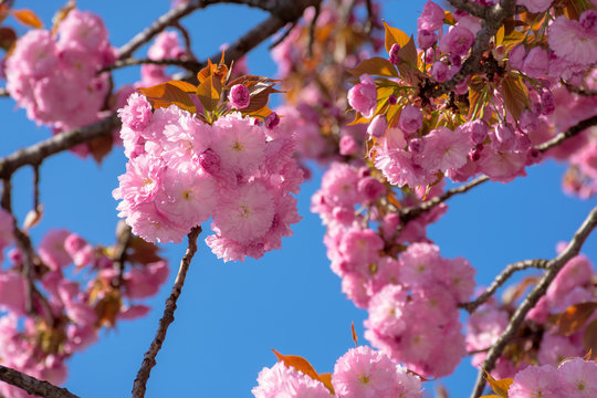 cherry blossom on the blue sky background. wonderful spring nature scenery