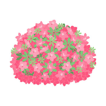 Springtime flowering shrub in full bloom of beautiful pink azalea flowers or rhododendron isolated on white background.  Great for wedding or valentine's day card, invitation.