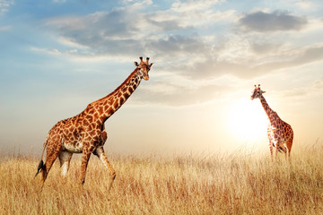 Wall Mural - Giraffe in the African savanna against the backdrop of beautiful sunset. Serengeti National Park. Tanzania. Africa. Copy space.