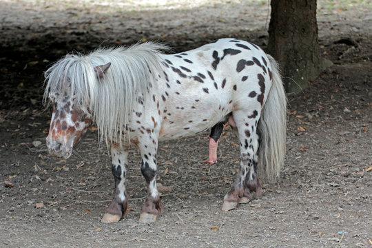 Geschecktes Pony mit Penis