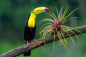 Ramphastos sulfuratus, Keel-billed toucan The bird is perched on the branch in nice wildlife natural environment of Costa Rica