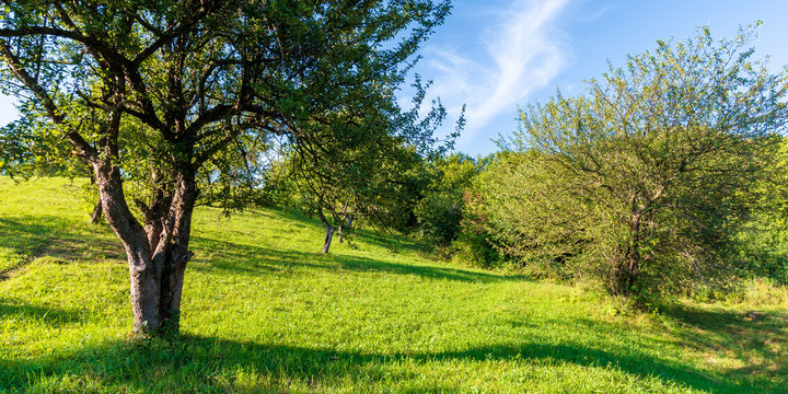 apple orchard on the hill in evening light. wonderful agricultural countryside scenery in summer. green grass and foliage beneath a blue cloudless sky