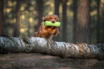 happy retriever dog jumping over a tree in the forest while fetching a hunting dummy, training for...